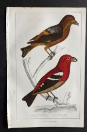 Goldsmith 1851 Hand Col Bird Print. American & White Winged Crossbill